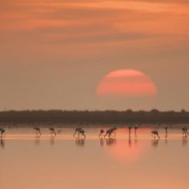Flamencos en la puesta del sol del Delta del Ebro